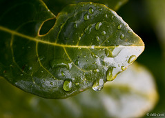 07/28 : Quelques gouttelettes qui perlent... (odilecuvit) Tags: goutte gouttelettes pluie vert feuille nature eau green