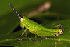 Built-in Sunvisors, pt. 2 - _TNY_7562S2 (Calle Söderberg) Tags: macro canon canon5dmkii canonef100mmf28usmmacro canoneos5dmarkii insect raynox dcr250 flash ringflash yn14ex yongnuo grasshopper gräshoppa spurthroatedgrasshopper locust green nymph xenocatantops humilis acrididae thailand kohlanta catantopinae spots spotted sunvisor photoshop focusstacking f22