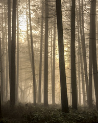 Moody Morning Fog (darrenball189) Tags: forest fog nature woodland landscape mist tree morning beautiful scenery foggy dawn view misty light wood sunlight shadow season pine wilderness dark woods countryside trees foliage silhouette scene plant nikon d7200 18300mm