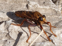Robber fly. Asilus  barbarus (gailhampshire) Tags: robber fly asilus barbarus taxonomy:binomial=asilusbarbarus
