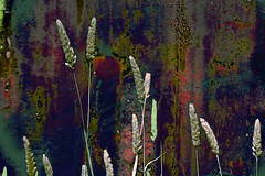 Abstract! (maginoz1) Tags: abstract art nature manipulate curves grass grain autumn march 2017 bulla melbourne victoria australia canon g3x