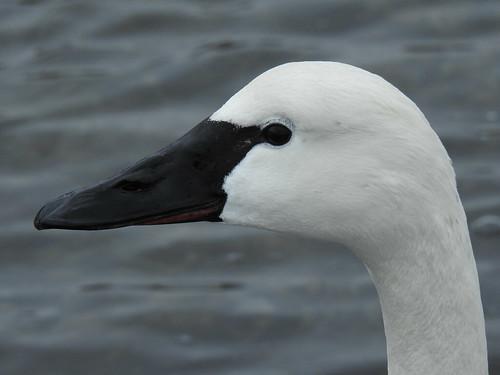 Tundra Swan TUSW (Cygnus columbianus)