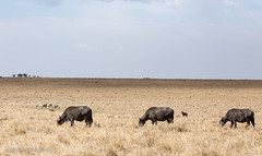 African buffalo (mirsasha) Tags: january kenya africanbuffalo 2017 masaimara narokcounty ke