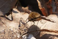 Bombylius major (7) (saracenovero) Tags: bombyliusmajor bombyliidae diptera flies fliesoflithuania mazeikiai 2014