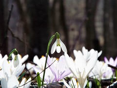 Snowdrop(s) and saffrons (Tihomir Pavlović) Tags: snowdrop flower plant outdoor wood light sun spring safran saffron crocus close depth zoom
