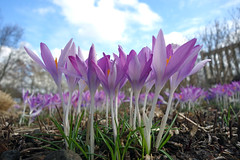 spring (smokykater - 530k+ views) Tags: krokus flower berlin spring frühling sun crocus buga platinumheartaward