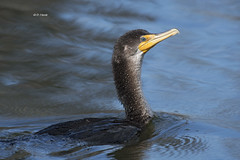 Double-crested Cormorant (featherweight2009) Tags: doublecrestedcormorant phalacrocoraxauritus cormorants divingbirds aquaticbirds seabirds birds