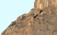 Percnoptère d'Egypte - Green Mubazzarah/Abu Dhabi/UAE_20170111_041-1