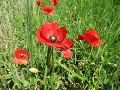 Cheeky ✓ (Éric…Mon chemin ⊰♥) Tags: garden flower champs coquelicots red grass pelouse mai may spring printemps 2016 light photography canon nature travel poppy poppies
