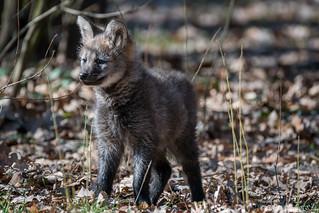 Mähnenwolf / Maned Wolf