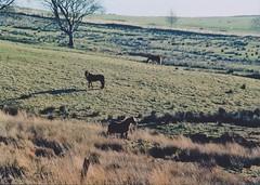 Ceffylau Eglwysilan (christianbc94) Tags: uk horses wales cymru taff pontypridd rhondda cynon ceffyl senghenydd