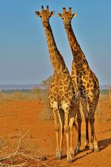 Twins on guard...Kruger National Park (South Africa) (stevelamb007) Tags: africa landscape southafrica mammal twins nikon eyecontact wildlife pair giraffe arid alert krugernationalpark mpumalanga kruger 18200mm d90 africanwildlife stevelamb