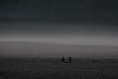 Roe Deer at Dawn (1 of 3) (Robin M Morrison) Tags: up dawn somerset waking roedeer