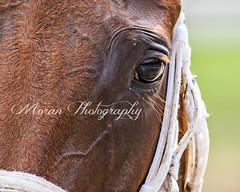 Sheer Drama (EASY GOER) Tags: horses horse ny newyork sports race canon athletics track saratoga competition upstate running racing 5d athletes races spa thoroughbred equine thoroughbreds markiii