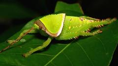 Giant False Leaf Katydid Nymph (Pseudophyllus titan, Pseudophyllinae, Tettigoniidae) (John Horstman (itchydogimages, SINOBUG)) Tags: insect macro china yunnan itchydogimages sinobug katydid bush cricket nymph orthoptera tettigoniidae pseudophyllinae topf25 topf50 top green fbe entomology