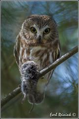 Saw-whet Owl with vole (Earl Reinink) Tags: autumn ontario canada nature nikon niagara owl earl vole naturephotography sawwhetowl birdphotography earlreinink reinink nikond4s notbaited ehedrudaoa