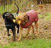 Cuties - Posie and Rosie chomping on the same rubber chicken, plaid jackets, backyard, Broadview, Seattle, Washington, USA (Wonderlane) Tags: seattle usa playing chicken washington backyard joke rosie same posie broadview 1882 chomping plaidjackets posieandrosiechompingonthesamejokechicken posieandrosiechompingonthesamerubberchicken