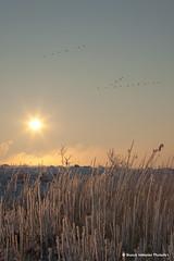 Frozen reed (Bianca Valkenier PhotoArt) Tags: winter snow cold ice nature fairytale sunrise season landscape frozen frost magic sneeuw nederland natuur landschap gelderland dodewaard betuwe rijp pastelcolors magisch 04022012 waaldodewaardriver