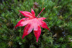 Herfst 2015 (Arie van Tilborg) Tags: autumn mushrooms japanesegarden herfst herfstkleuren paddestoelen clingendael japansetuin