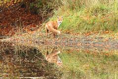 Reflective Fox. (Steviethewaspwhisperer) Tags: red fox mortonlochs