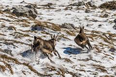 _15B2195-Modifica (gabrielecristiani) Tags: neve luoghi sequenza camoscio mammiferi altreparolechiave passomastrelle