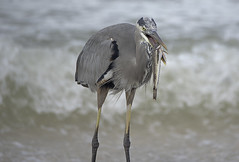 Heron With Fish 16 (dcnelson1898) Tags: ocean travel vacation heron gulfofmexico birds fishing waves florida eating hunting fisch blueheron shorebirds