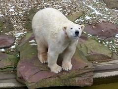 Vera - Charlottchen - Eisbren - Tiergarten Nrnberg (ElaNuernberg) Tags: zoo polarbear ijsbeer eisbr ursusmaritimus zooanimals zootiere jkaru tiergartennrnberg ourspolaire orsopolare nurembergzoo niedwiedpolarny eisbrvera eisbrcharlottealiaslottchen