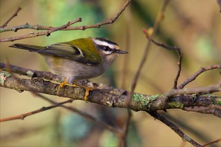 Firecrest (Explored 08-12-15)