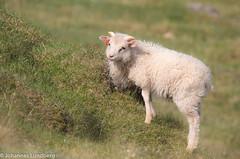 27062015-498.jpg (JohannesLundberg) Tags: sheep bovidae mammalia fr ovisaries eutheria ovis artiodactyla caprinae theria caprini tamfr