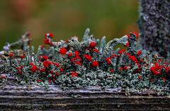 British Soldier Lichen (Dalliance with Light) Tags: wood red macro green nature gardens fence soldier us newjersey unitedstates british lichen rutgers eastbrunswick rutgersgardens frutose britishsoldierlichen