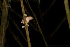 Smilisca phaeota (Kevin Stohlgren) Tags: macro tree costarica sony sigma frog masked treefrog osa a77 osapeninsula 70mm smilisca phaeota