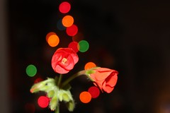 5Q7A5452 (smo2000) Tags: christmas winter red green fall leaves festive leaf colorful pattern bokeh kansas organic geranium