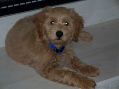 jake-is-one-of-sandy-and-chewys-f1b-puppies-_4928900905_o