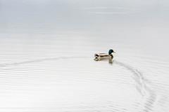 Canard sauvage (Laurent Moulin photographie) Tags: canard sauvage colvert etang traine d eau male colombier saugnieu des salines
