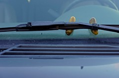 Two Pickles Under a Windshield Wiper (ricko) Tags: pickles windshieldwiper car windshield hood werehere newgroup steeringwheel 366366 2016