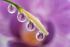 orchid in the water drop (T. Kaiser) Tags: orchidinthewaterdrop orchid waterdrop wassertropfen orchidee fe90mmf28macrogoss sonyilce6300 macro markro blume flower purpleflower reflection reflexion