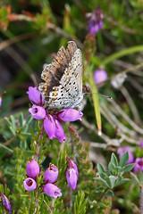 Female Silver-studded Blue (pseudo-macro) (Roy Lowry) Tags: preesheath silverstuddedblue plebejusargus