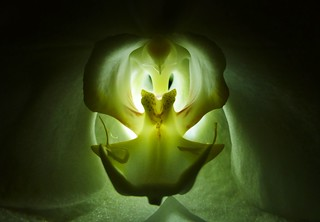 Backlit Orchid Heart..x
