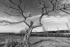 Touchdown (Flapweb) Tags: tree shelburnepond vermont mono