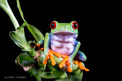 Hey there! (Linda Martin Photography) Tags: dorset agalychniscallidryas wildlife bournemouth nature centralamerica costarica rainforest reptile canon5dmarklll uk redeyedtreefrog black background coth5 coth alittlebeauty ngc specanimal specanimalphotooftheday