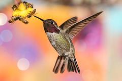 Anna's Hummingbird Male (gilamonster8) Tags: bokeh arizona hummingbird