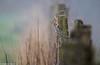 Chardonneret HFF (Deathscythe42) Tags: fencefriday barrière tamronsp150600vcusd paysage loire rhônealpes animalplanet nature eos70d birds oiseaux chardonneret canon cardueliscarduelis landscape fence