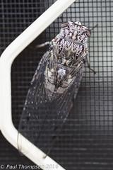 Cicada (ZapGaspix) Tags: 22122016 cicada copyrightpaulthompson macro canon60d lakemacquarie