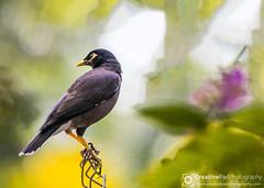 Bird Photography Common Myna