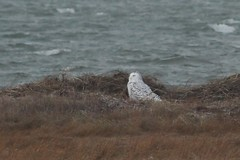 Snowy Owl, Nauset outer beach, about 300m across the marsh. 12/27/16 (petertrull) Tags: elements