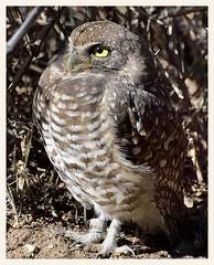 Private Owl, Reporting For Duty, Sir! (gauchocat) Tags: arizonasonoradesertmuseum tucsonarizona