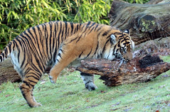 sumatran tiger Burgerszoo JN6A9766 (j.a.kok) Tags: burgerszoo tijger tiger sumatraansetijger sumatrantiger pantheratigrissumatrea cat kat predator sumatra asia azie mammal zoogdier