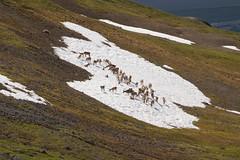 Yet Another Small Herd of Caribou (jpmckenna - Tenquille Lake Up Next) Tags: alaska denali denalinationalpark landscape unit11 backpacking getoutside mountain caribou unit12