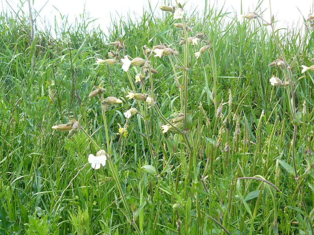 Silene latifolia ssp. alba2