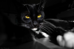 The dark life of an assassin (Captions by Nica... (Fieger Photography)) Tags: toby cat catmoments catportrait catseyes portrait pet eyes feline indoor quebec canada